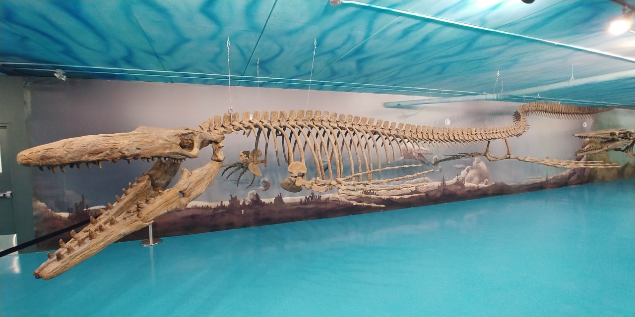 A mosasaur on display at the Canadian Fossil Discovery Centre